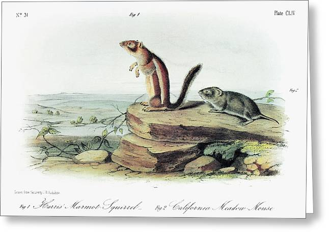 Audubon Squirrel And Vole Greeting Card by Granger