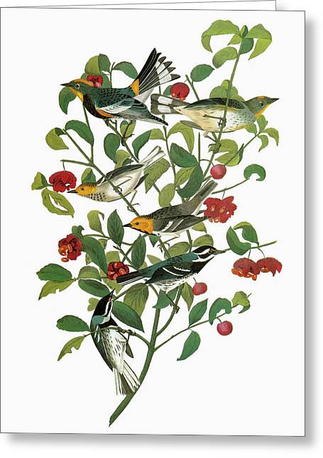 Audubon Warblers Greeting Card by Granger