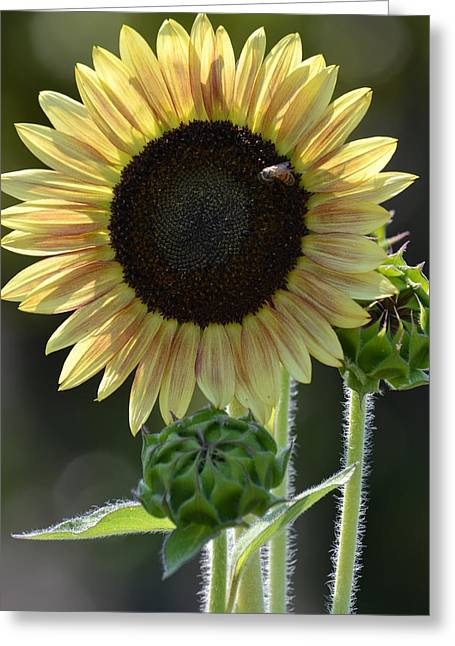 August Sunflower Greeting Card by P S