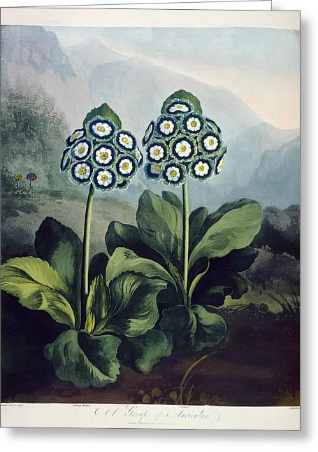 Auriculas Greeting Card by British Library