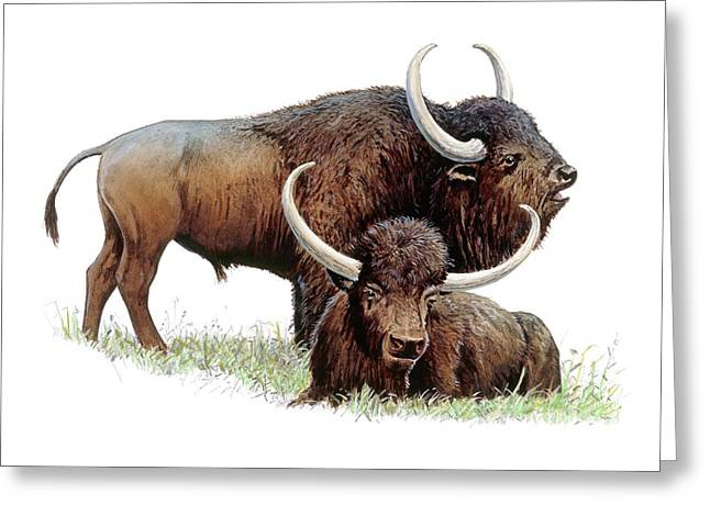 Aurochs Greeting Card by Michael Long/science Photo Library