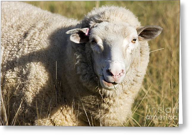 Australian Sheep Portrait Greeting Card by Jorgo Photography - Wall Art Gallery