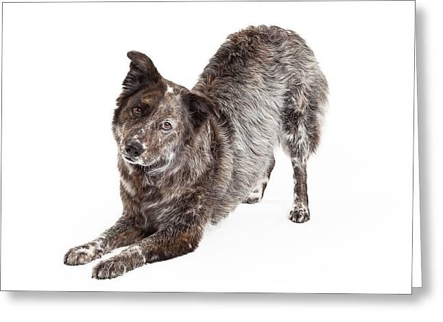 Australian Shepherd Mix Breed Dog Bowing Greeting Card by Susan Schmitz