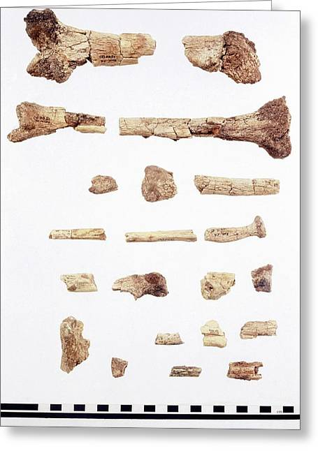 Australopithecus Skeleton Fragments Greeting Card by John Reader/science Photo Library