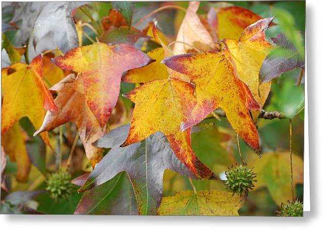 Autumn Acer Leaves Greeting Card