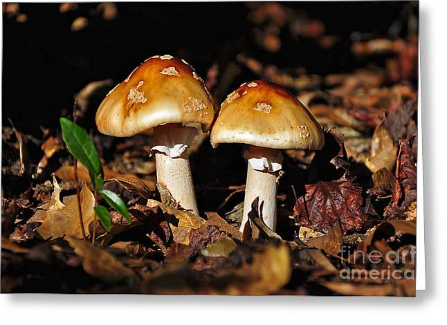Autumn Amanitas Greeting Card by Al Powell Photography USA