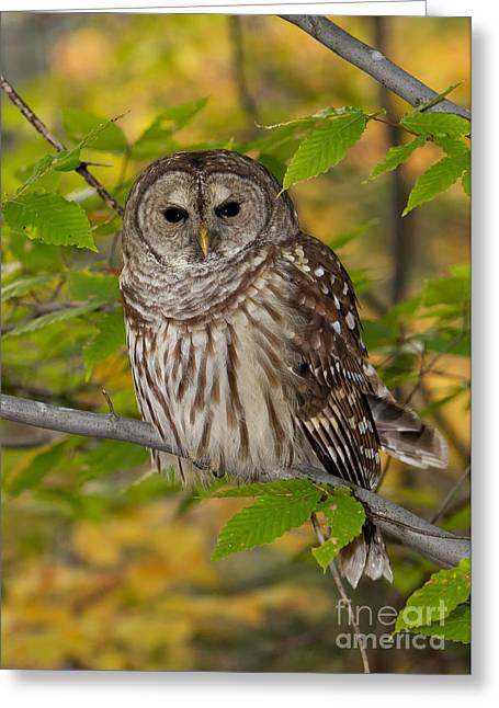 Autumn Barred Owl Greeting Card by Joshua Clark
