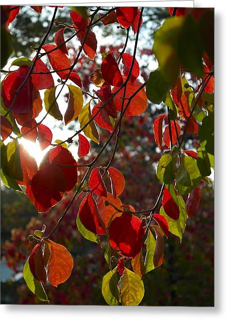 Autumn Dogwood In Evening Light Greeting Card