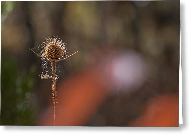 Greeting Card featuring the photograph Autumn Dry Teasel by Jivko Nakev