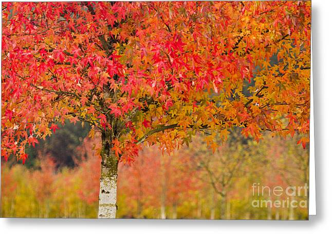 Autumn Fire Greeting Card by Sonya Lang