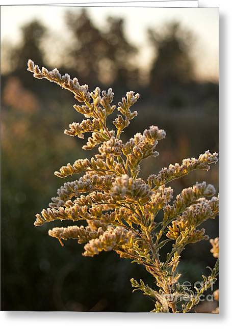 Autumn Frost On Goldenrod Flower Greeting Card