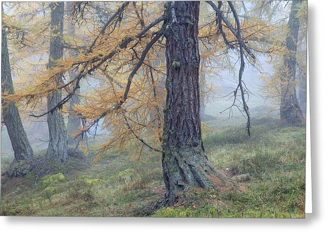 Autumn Larch And Fog Alps, Switzerland Greeting Card