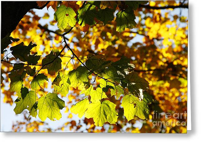 Greeting Card featuring the photograph Autumn Light In Leaves by Lincoln Rogers