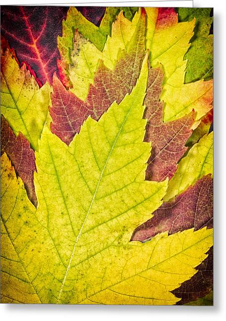 Autumn Maple Leaves Greeting Card by Adam Romanowicz