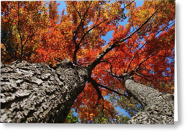 Autumn Nature Maple Trees Greeting Card by Christina Rollo