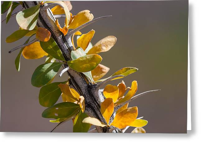Autumn Ocotillo Greeting Card by Beverly Parks