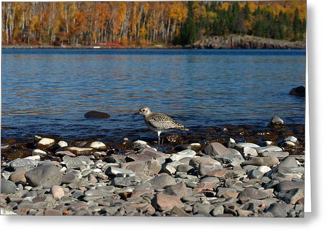 Autumn Plover  Greeting Card by James Peterson