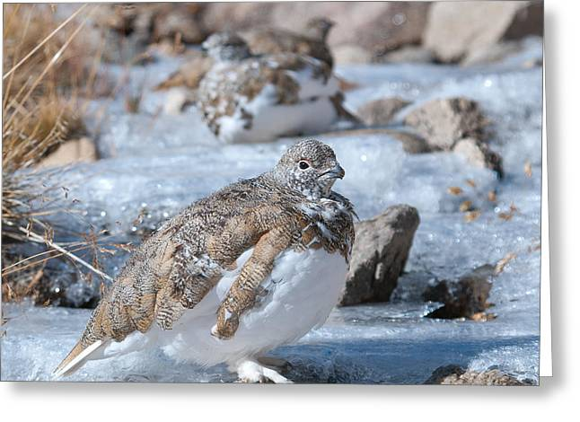 Greeting Card featuring the photograph Autumn Plumage White-tailed Ptarmigan by Cascade Colors