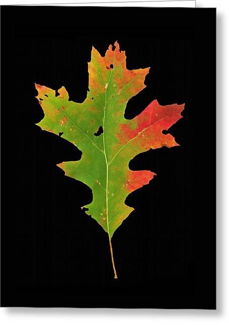 Autumn Red Oak Leaf 1 Greeting Card