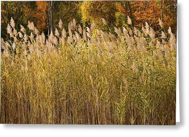Autumn Sunlight On Marsh Reeds Greeting Card