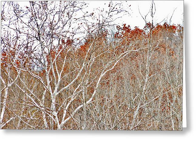 Autumn Sycamores Greeting Card