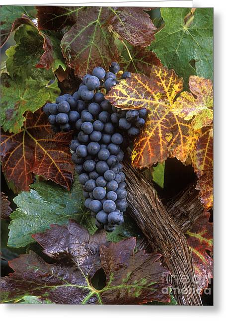 Autumn Zinfandel Cluster Greeting Card