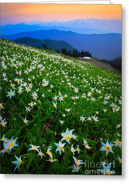 Avalanche Lily Field Greeting Card by Inge Johnsson