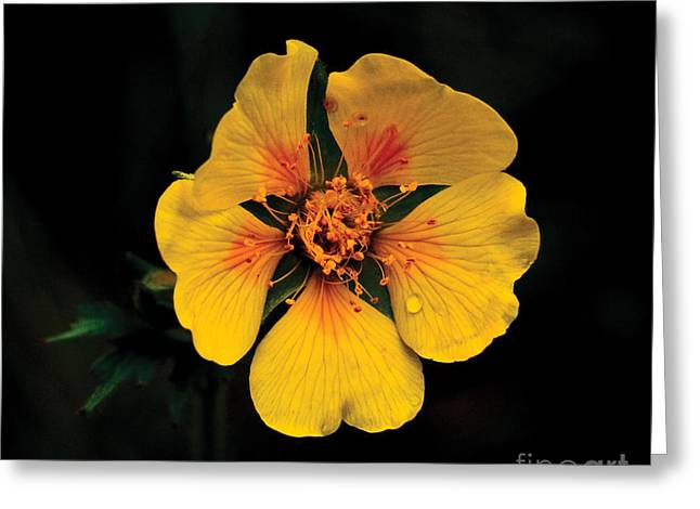 Avens Flower Greeting Card