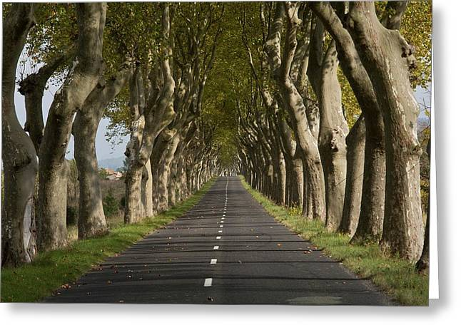 Avenue Of Plane (platanus Sp.) Trees Greeting Card