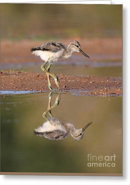 Avocet Chick  Greeting Card by Ruth Jolly