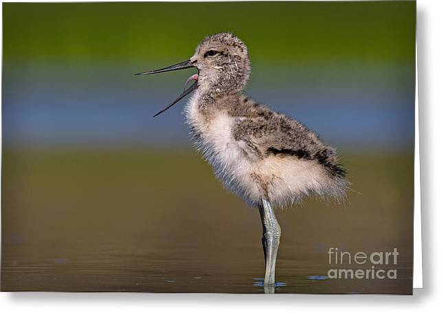 Avocet Chick Yawning Greeting Card by Kim Michaels
