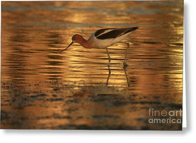 Avocet Gold Greeting Card