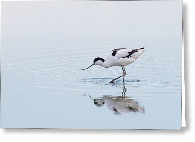 Avocet Greeting Card by Ian Hufton