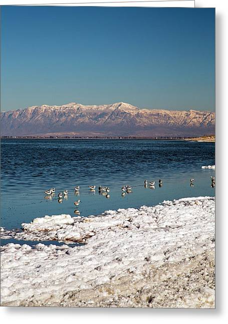 Avocets On Antelope Island Greeting Card by Jim West