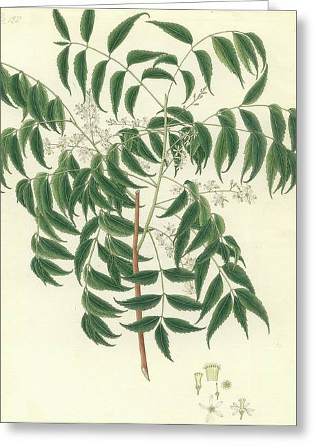 Azadirachta Indica Greeting Card by Natural History Museum, London