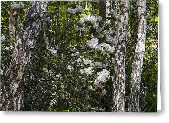 Azaleas In The Trees Greeting Card by Garry Gay