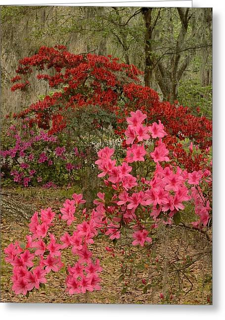 Azaleas Time Greeting Card