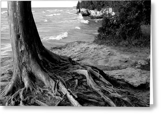 B And W Cedar Roots At Cave Point Greeting Card by David T Wilkinson