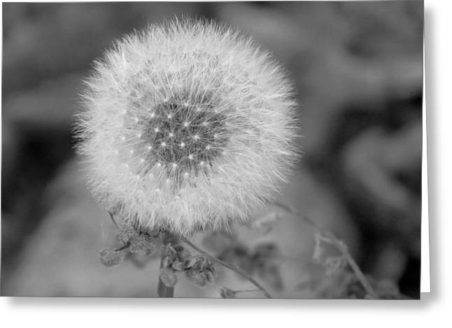 B And W Seed Head Greeting Card
