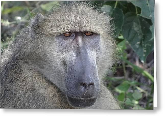 Baboon Portrait Greeting Card