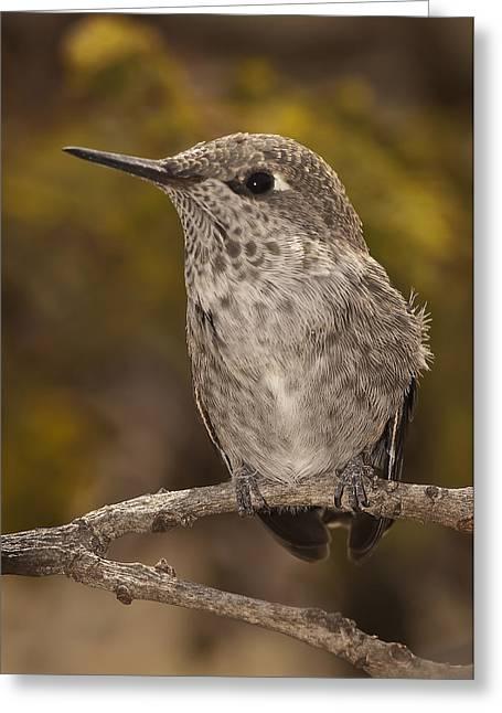 Baby Anna's Hummingbird Greeting Card