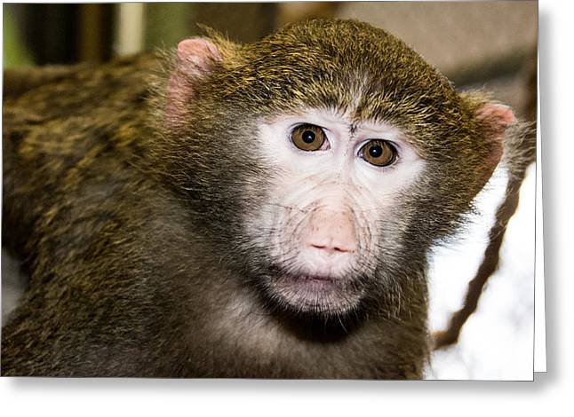 Baby Baboon Greeting Card by Robin Williams