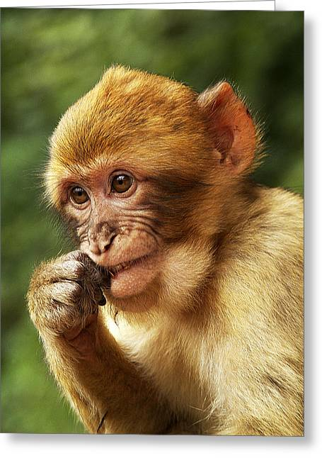Greeting Card featuring the photograph Baby Barbary Macaque by Selke Boris