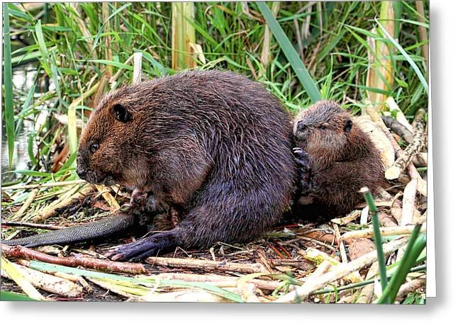 Baby Beaver With Mother Greeting Card