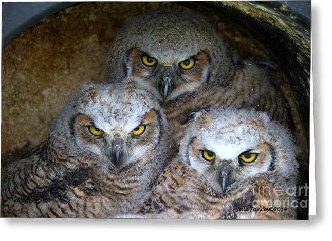 Baby Big Horned Owls Greeting Card