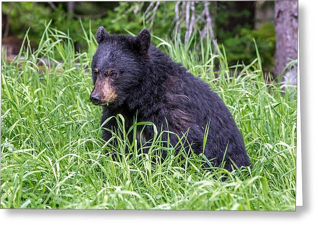 Baby Black Bear Greeting Card by Pierre Leclerc Photography