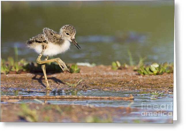 Baby Black-necked Stilt Exploring Greeting Card