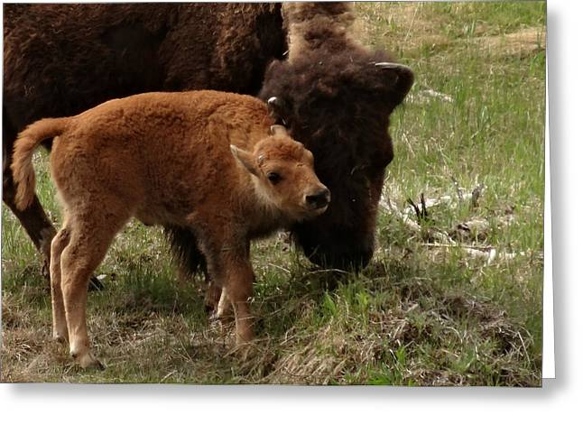 Baby Buffalo Greeting Card by Dan Sproul