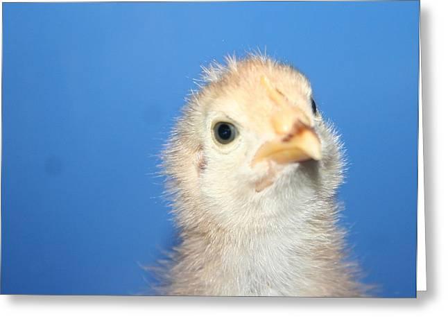 Baby Chicken Greeting Card by Carolyn Reinhart