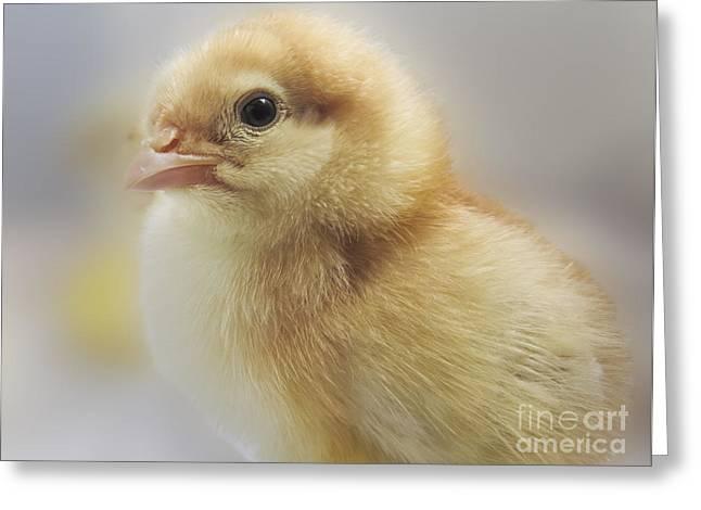 Baby Chicken Greeting Card by Darleen Stry